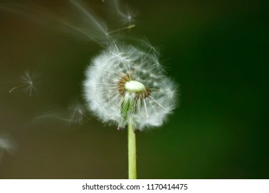 Blowball, dandelion, Taraxacum officinale