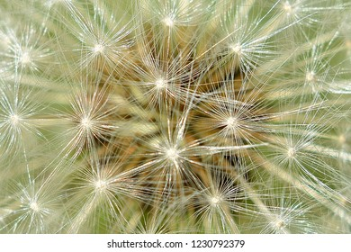 Blowball. Dandelion.Macro photo. Background
