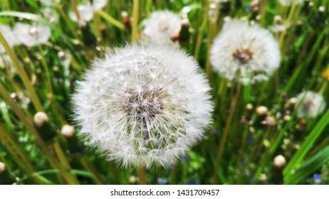 Blowball flower at the field closeup