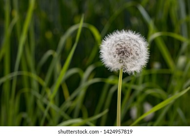 blowball in front of corn