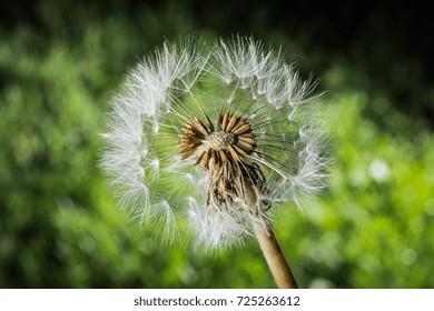 blowball macro photography