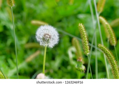 Blowball on green juicy grass in blurred background. Bright green grass and dandelion in spring.