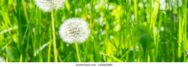 A blowball on a green meadow in the sunshine, panorama