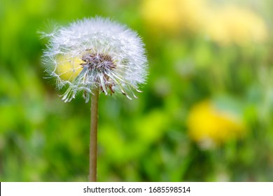 Blowball of Taraxacum plant on long stem. Blowing dandelion clock of white seeds on blurry green background of summer meadow. Fluffy texture of white dandelion flower closeup. Fragility concept.
