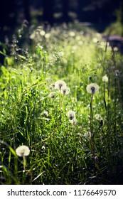Blowballs on the green grass field, sunlight