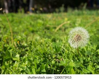blowballs on meadow, dandelion background