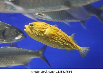 Blowfish or diodon holocanthus underwater