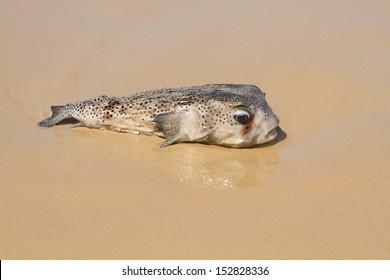 Blowfish on the beach