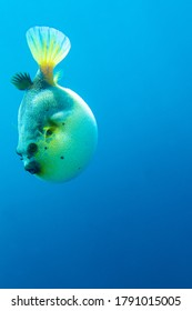 The Blowfish plunges into the blue abyss
