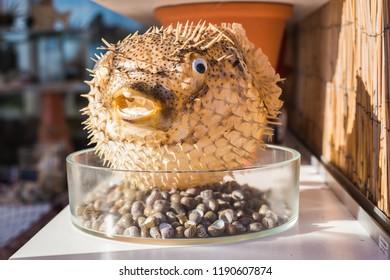 Blowfish or puffer fish in Souvenir shop. Porcupine Fish