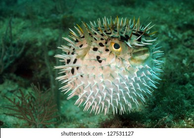 Blowfish or puffer fish underwater in ocean