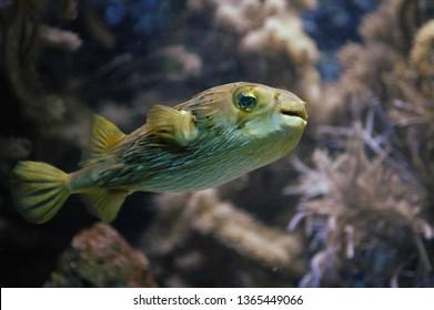 A blowfish is swimming in an aquarium.