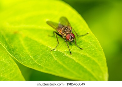 Blowfly, carrion fly, black fly sitting on a green leaf, close up view. Natural background.