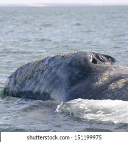 The blowhole of a gray whale is visible as it swims in a sanctuary lagoon in Baja Mexico