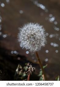 Blowing away of dandelion blowball