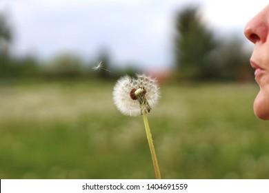Blowing Dandelion Flower - One single flower gone with the wind