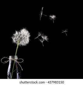 Blowing dandelionin the glass bottle.Dandelion in focus seeds defocused.Efect motion.