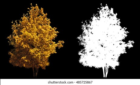 Blowing on the wind beautiful full size real autumn yellow trees isolated on alpha channel with black and white luminance matte, perfect for digital composition