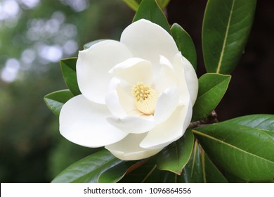 Blown beautiful magnolia flower on a tree with green leaves.