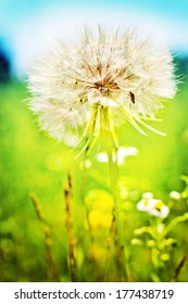 Blown dandelion in beautiful summer day/ Spring  or summer sunny nature background