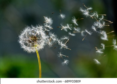 Blown dandelion clock on a blurred background