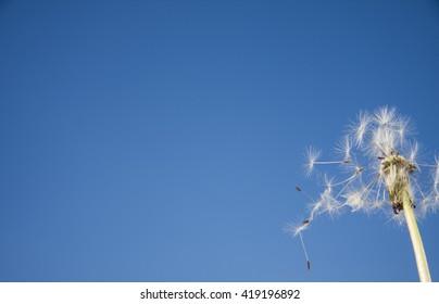 Blown dandelion on a blue sky