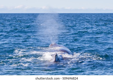 Blowout of a large Sperm Whale near Iceland (Atlantic ocean)