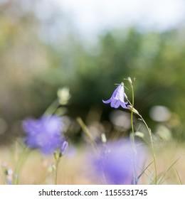 Blubell summer flower closeup in a field
