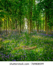 A blubell wood in yhe North York Moors national Park