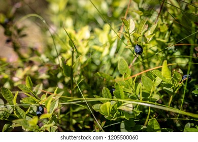 bluberry in the wilderness