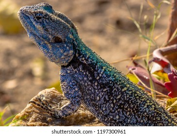 Blue agama lizzard standing on rock waiting for flies, Hwenge, Z