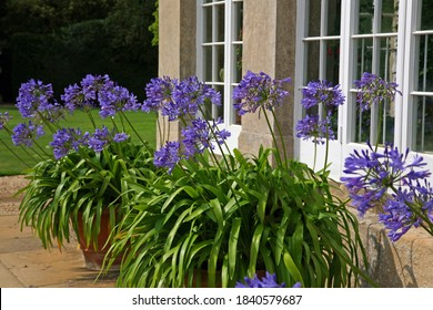 Blue Agapanthus Flowers in Terracotta Pots outside a Conservatory with Georgian Windows
