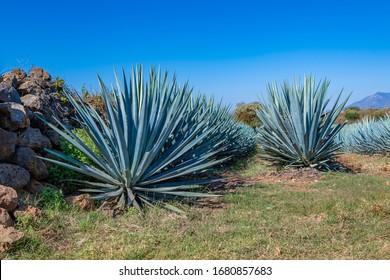 Campo Agave Azul en Tequila, Jalisco, México