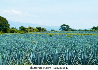 Blue agave fields as far as you can see.