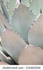 Blue agave leaves, full frame