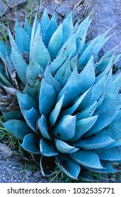 Blue agave in rockface