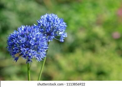 Blue Allium caeruleum (Blue globe onion) in spring garden. Growing bulbs in the garden.