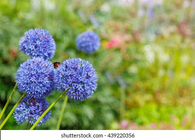 Blue Allium caeruleum (Blue globe onion) in spring garden