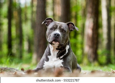 American Staffordshire Terrier Images, Stock Photos