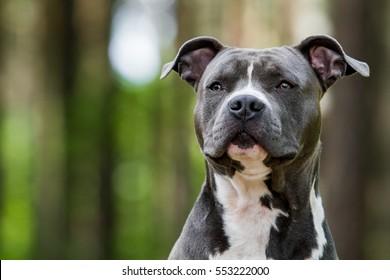 Blue American staffordshire terrier, amstaff, stafford