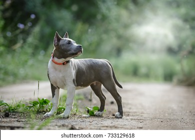 Blue American staffordshire terrier amstaff stafford pit bull puppy walking outdoor in summer forest