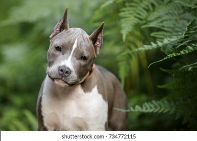 pitbull dog images stock photos vectors shutterstock