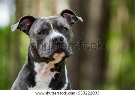 foto stock de blue american staffordshire terrier amstaff stafford