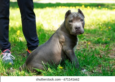 Blue American staffordshire terrier on background green grass