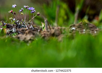 Blue anemone flowers. Blooming anemones. Blue anemones on the green grass as background.  Meadow with anemones. Field flowers. Nature flower in spring. Flowers in meadow.
