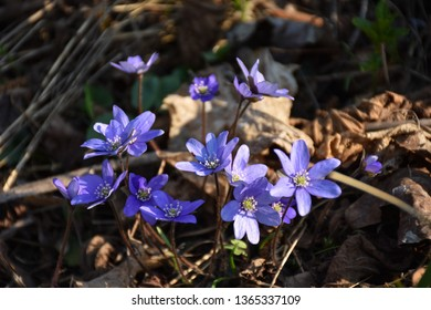 Blue Anemones, a beautiful spring sign