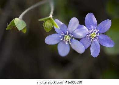 Blue anemones with buds in the forest.