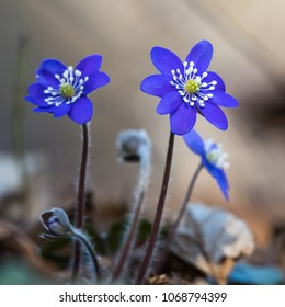 Blue anemones, the ultimate spring season signs