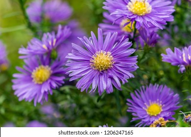 Blue Aster (Aster Domusus) Flowers in Autumn.