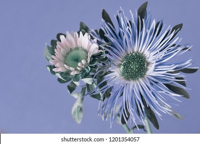 blue asters on a blue background, studio shooting.